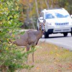 Avoid a deer-car collision